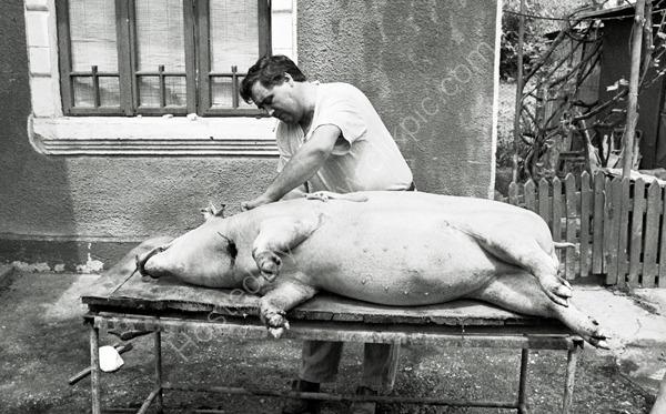 Preparing the pig