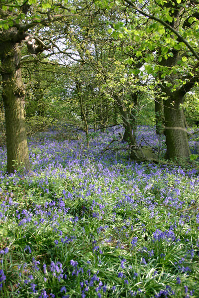 Bluebells in the Wood - Study 2