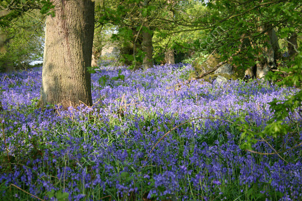 Bluebells in the Wood - Study 3