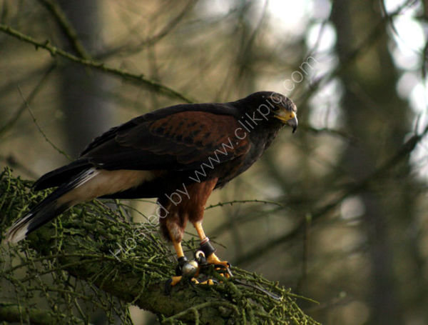 Harris Hawk (1)