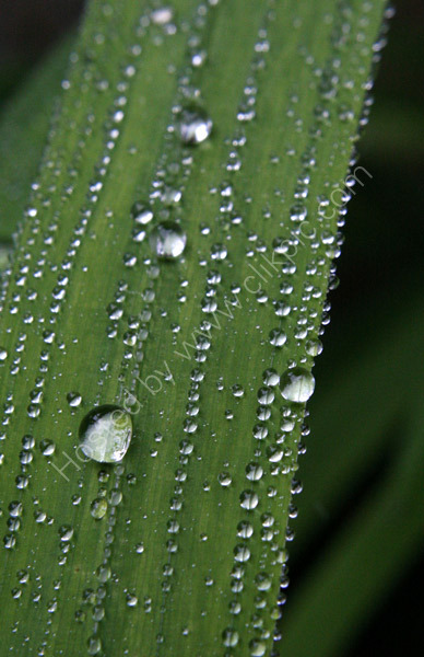 Raindrops on Leaves 2