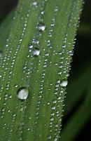 Raindrops on Leaves 2