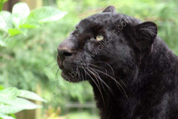 Black Leopard 1