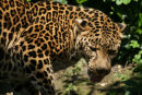 Siberian Leopard 1