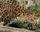 Siberian Leopard 3