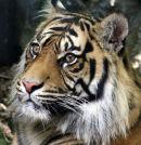 Sumatran Tiger - 1
