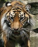 Sumatran Tiger - 3