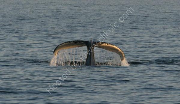 Humpback Whale (7)
