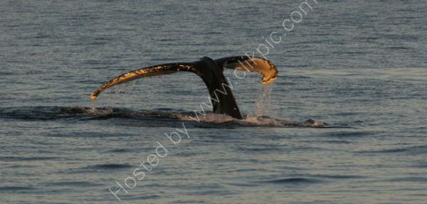 Humpback Whale (6)