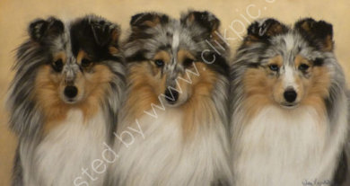 These 3 shelties all belong to Debbie