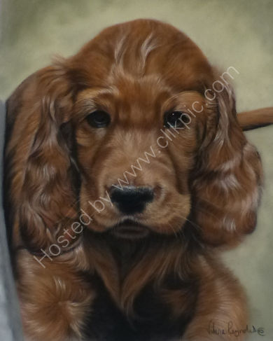 Harry the Irish Setter Puppy