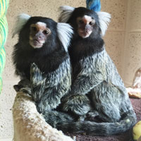 Reference photograph for 2 Marmosets