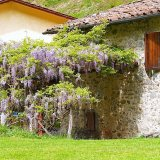Wisteria on the old millhouse