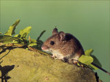 Wood mouse in the evening sun.