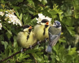 A Blue Tit feeding Great Tit fledglings