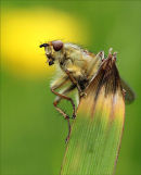 An angelic dung fly