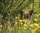 Foxy ears