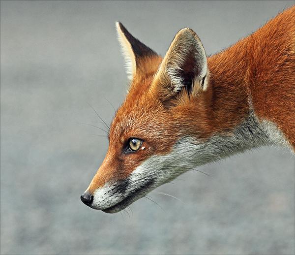 Adolescent fox