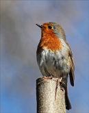 Robby Robin