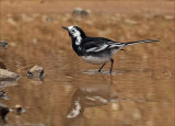 Wagtail reflections