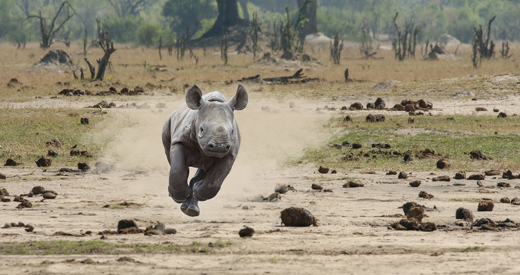 Baby Black Rhino on the charge