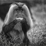 """Lion Tailed Macaque"""