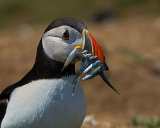 """A Meal for the Puffins"""