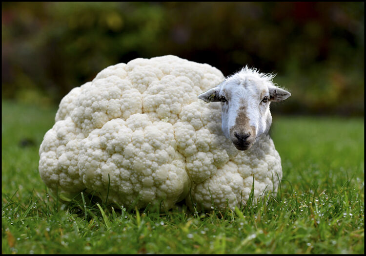 """Collie Sheep"""