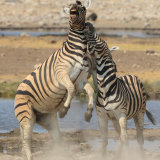 """Zebra Fight"""