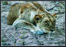 """Lioness Resting"""