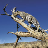 """Male Leopard surveying his territory"""