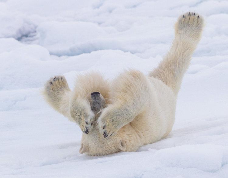 Polar Bear, Svalbard