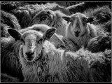 ":Sheep"""