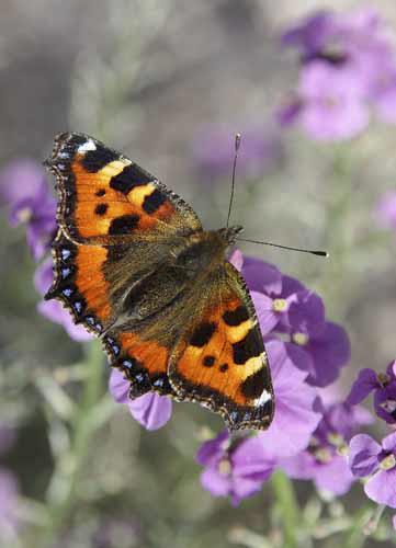 """Small Totoiseshell Butterfly"