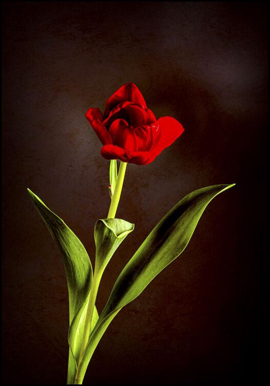 """""""Tulip"""""""