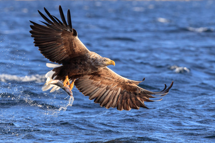 White Tailed Eagle, Norway