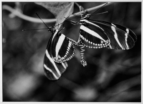 """Zebra striped butterfly"""