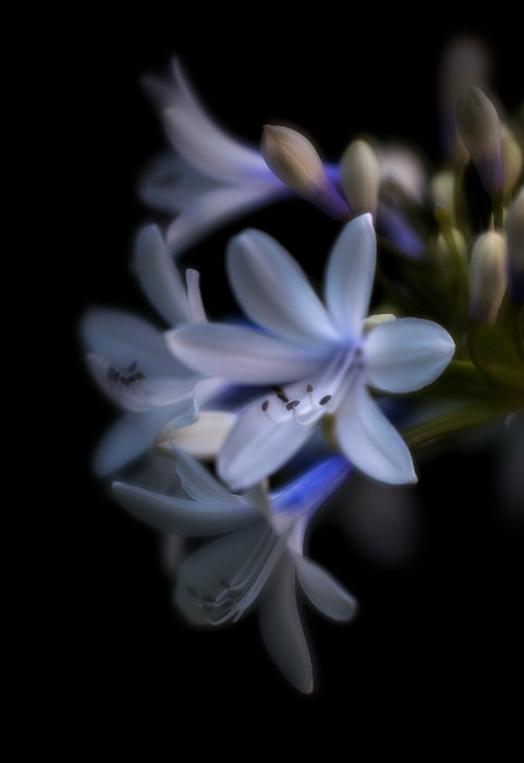 1st - African Lily