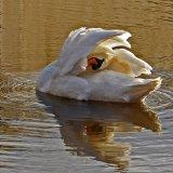 01 Helen Burns Swan