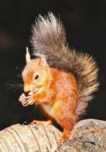 02 Helen Burns Red Squirrel