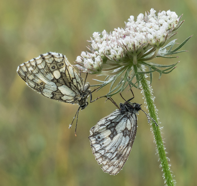 Marbled Whites sheltering in the rain Mary Bevis