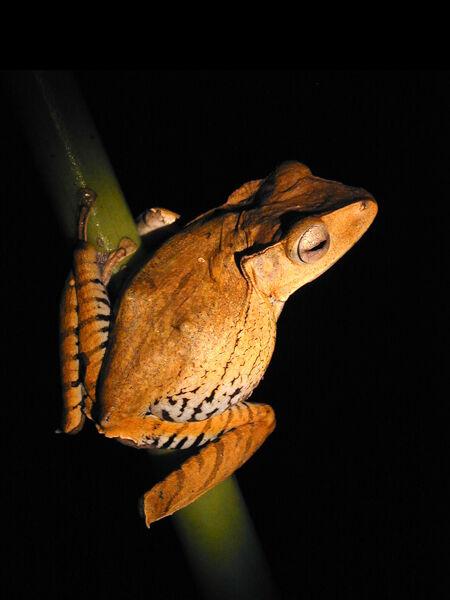 Borneo Tree Frog