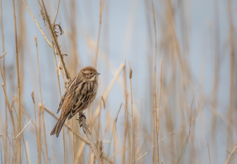 Female Reed Bunting- Alan Bevis