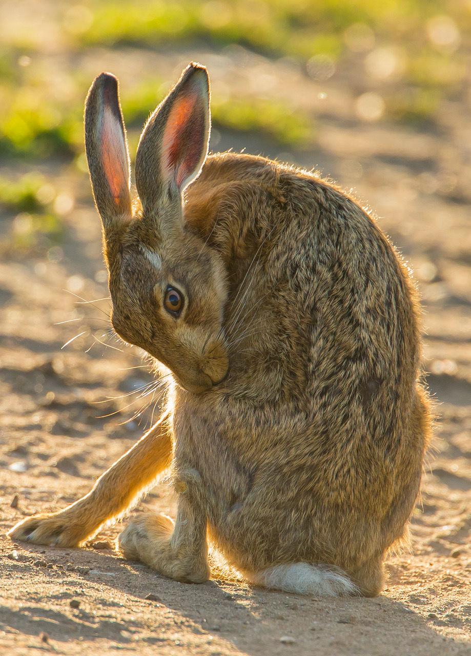 Gordon- Chamberlain-Preening-Hare
