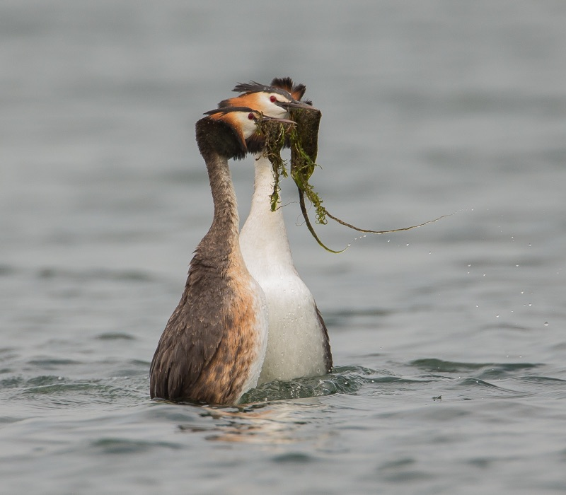 Greater Crested Grebes Courtship dance (1 of 1)
