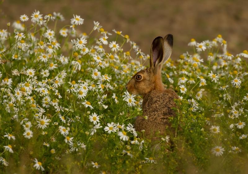 Hare Daisy
