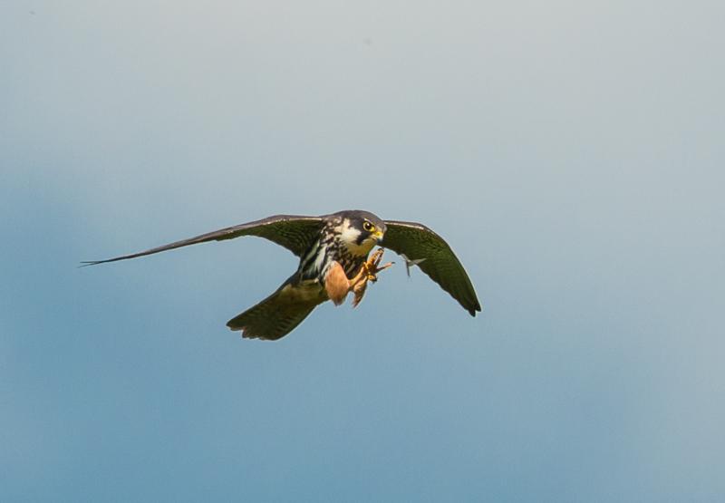 Hobby catching Mayfly-1
