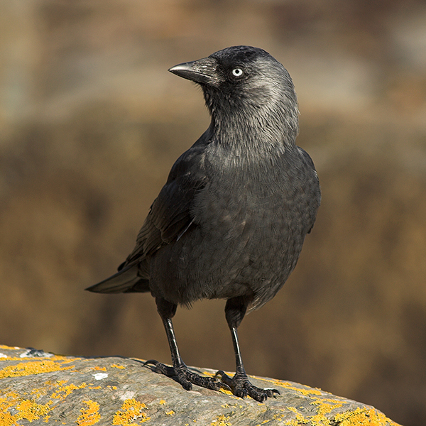 Jackdaw Lynmouth