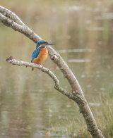 Kingfisher - Alan Bevis