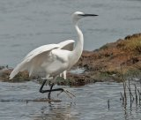Little Egret at Lodmoor by Phil Harris